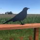 Blackbird Fence & Post Topper